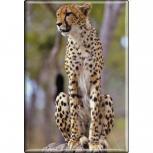 TIERMAGNET - Raubkatze Gepard - Gr. ca. 8 x 5,5 cm - 37008 - Küchenmagnet