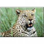 TIERMAGNET  - Raubkatze Leoparden - Gr. ca. 8 x 5,5 cm - 37011 - Küchenmagnet